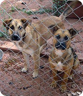 German Shepherd Dog Mix Dog for adoption in Jemez Springs, New Mexico - Justin & Jacob
