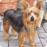 Adopt A Pet :: Flame - CAPE CORAL, FL