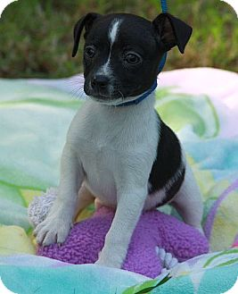 Jack Russell Terrier Mix Puppy for adoption in Plainfield, Connecticut - Larry (IN NEW ENGLAND)