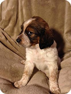 Australian Shepherd/Beagle Mix Puppy for adoption in waterbury, Connecticut - Bashful