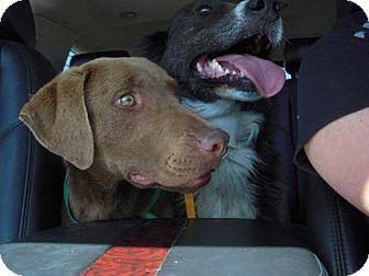 Chesapeake Bay Retriever/Labrador Retriever Mix Dog for adoption in Long Beach, California - Wrigly