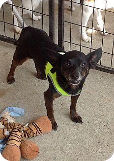 Chihuahua Mix Dog for adoption in Alexis, North Carolina - Zeus