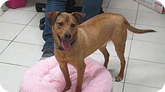 Hound (Unknown Type)/Shepherd (Unknown Type) Mix Dog for adoption in Middletown, New York - Duke