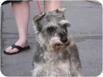Schnauzer (Miniature) Dog for adoption in Long Beach, New York - Lucy