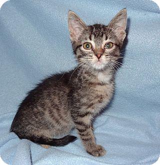 Domestic Shorthair Kitten for adoption in Bentonville, Arkansas - Dovey