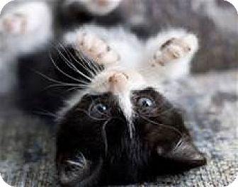 Domestic Shorthair Kitten for adoption in Whitestone, New York - Lucky