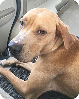 Labrador Retriever/Boxer Mix Puppy for adoption in Allison Park, Pennsylvania - Daisy