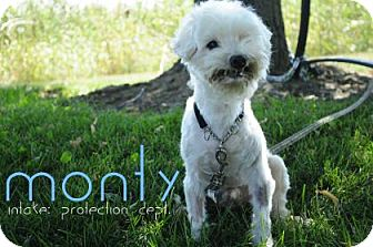 Maltese Mix Dog for adoption in Hamilton, Ontario - Monty