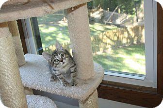 Domestic Shorthair Kitten for adoption in St. Louis, Missouri - Daisey