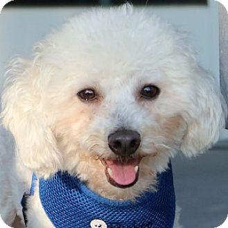Bichon Frise Mix Dog for adoption in La Costa, California - Gizmo