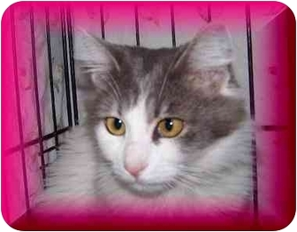 Domestic Longhair Cat for adoption in Yorba Linda, California - Lacy