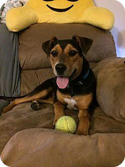 Beagle/Australian Shepherd Mix Dog for adoption in Lansing, Kansas - Buster