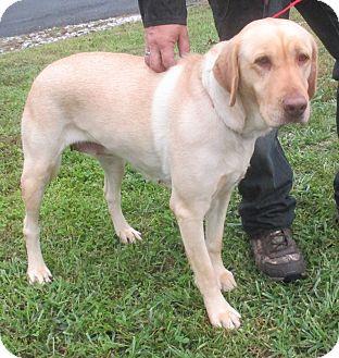Labrador Retriever Mix Dog for adoption in Reeds Spring, Missouri - Lisa