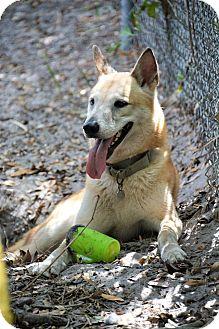 Siberian Husky/German Shepherd Dog Mix Dog for adoption in Clearwater, Florida - Bear