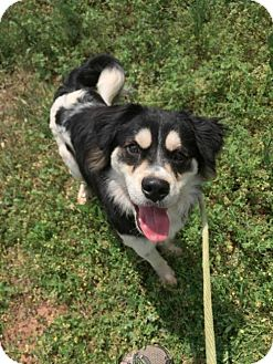 Husky/Boxer Mix Dog for adoption in Hanover, Pennsylvania - JACK ~ PLEASE READ MY BIO!