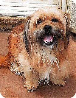 Shih Tzu/Yorkie, Yorkshire Terrier Mix Dog for adoption in Oakley, California - Curry