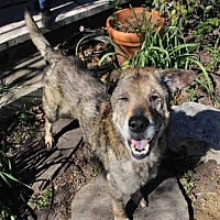 German Shepherd Dog Mix Dog for adoption in Austin, Texas - WOLFIE