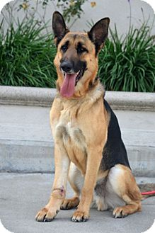 German Shepherd Dog Dog for adoption in Downey, California - Ranger
