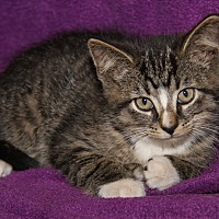 Domestic Shorthair Kitten for adoption in Marietta, Ohio - Franklin (Baby Pictures)
