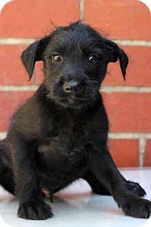 Terrier (Unknown Type, Medium)/Retriever (Unknown Type) Mix Puppy for adoption in Waldorf, Maryland - Kirk