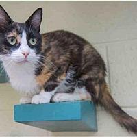 Domestic Mediumhair Cat for adoption in West Valley, Utah - GINGER
