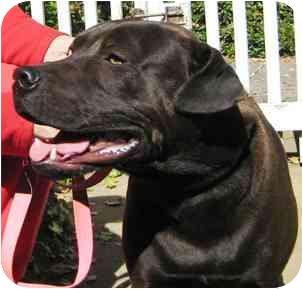Shar Pei/Labrador Retriever Mix Dog for adoption in Portsmouth, Rhode Island - Sailor