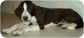 Labrador Retriever/Pointer Mix Puppy for adoption in North Judson, Indiana - Genie