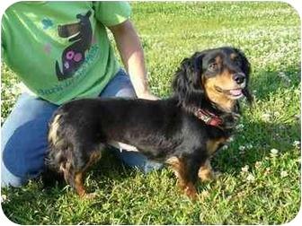 Dachshund Dog for adoption in Portsmouth, Rhode Island - Princess