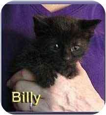 Domestic Shorthair Kitten for adoption in Aldie, Virginia - Billy