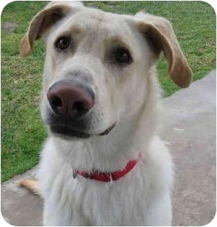 Labrador Retriever Dog for adoption in San Clemente, California - HARRISON