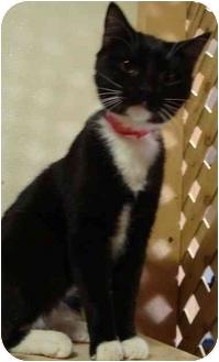 Domestic Shorthair Cat for adoption in Arkadelphia, Arkansas - Rylee