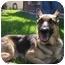 Photo 3 - German Shepherd Dog Dog for adoption in Green Cove Springs, Florida - Cheyenne