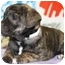 Photo 2 - Terrier (Unknown Type, Medium) Mix Puppy for adoption in Broomfield, Colorado - Patty Mayo