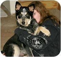 Husky/Australian Cattle Dog Mix Dog for adoption in Avon, New York - Beaumont