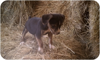 Xoloitzcuintle/Mexican Hairless/Beagle Mix Puppy for adoption in castalian springs, Tennessee - Francis