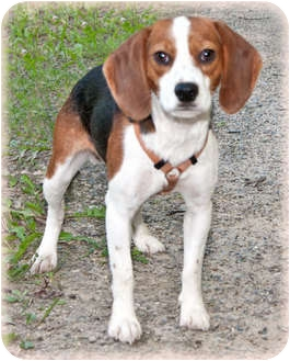 Beagle Dog for adoption in Howell, Michigan - Milo