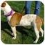 Photo 3 - American Staffordshire Terrier/American Bulldog Mix Dog for adoption in Sacramento, California - Eclipse.Stunning