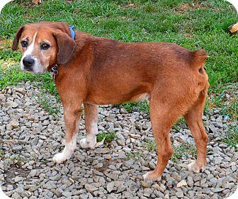 Boxer Mix Dog for adoption in Bakersville, North Carolina - Rocky