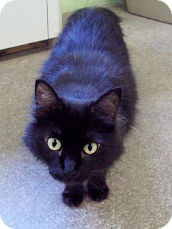 Domestic Mediumhair Cat for adoption in Atchison, Kansas - Dixie