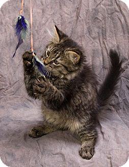 Domestic Mediumhair Kitten for adoption in Anna, Illinois - CHICO