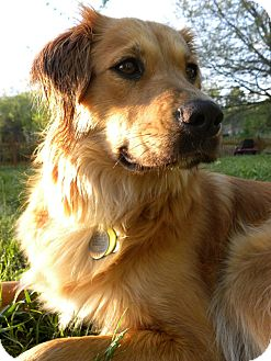 Golden Retriever Mix Dog for adoption in Knoxville, Tennessee - Ellie