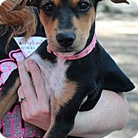 Adopt A Pet :: Dora - Somers, CT