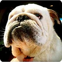 Adopt A Pet :: Sumo*adoption pending* - Gilbert, AZ
