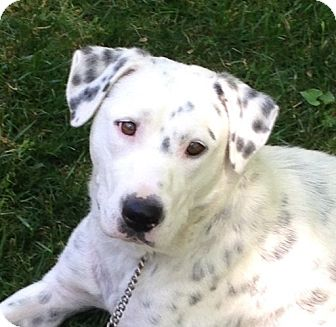 Dalmatian/Labrador Retriever Mix Dog for adoption in Kittery, Maine - April