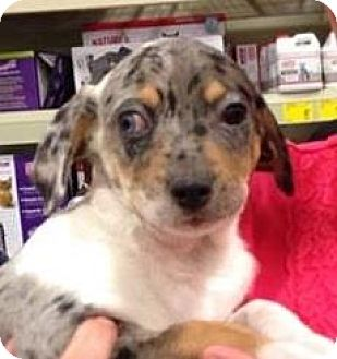 Catahoula Leopard Dog/Australian Shepherd Mix Puppy for adoption in Gainesville, Florida - Midge