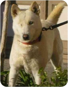 Siberian Husky Dog for adoption in Southern California, California - Sky
