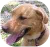 Labrador Retriever Mix Dog for adoption in Eatontown, New Jersey - Zeus