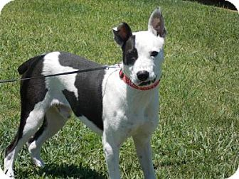 Boxer/Border Collie Mix Dog for adoption in Moody, Alabama - Bouncer
