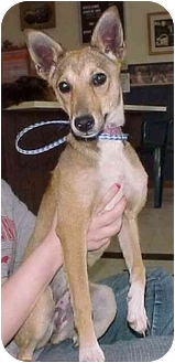 Terrier (Unknown Type, Small) Mix Dog for adoption in North Judson, Indiana - Bambie