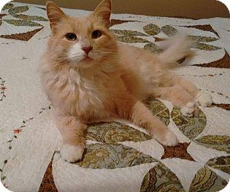 Domestic Longhair Cat for adoption in Carlisle, Pennsylvania - Muffin